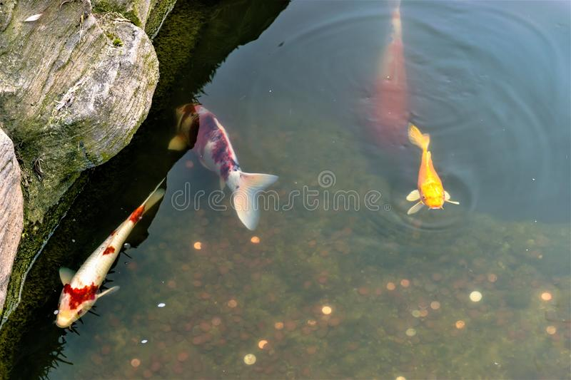 Coy Fish and Coins in Pond. Colorful coy fish swim in pond with coins thrown for good luck stock photos