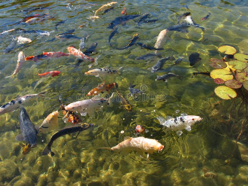 Download Coy Fish Looking For Food stock photo. Image of plant, feeding - 37986