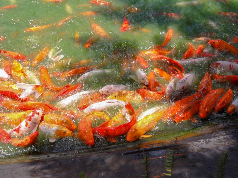 Coy Fish na lagoa fotos de stock