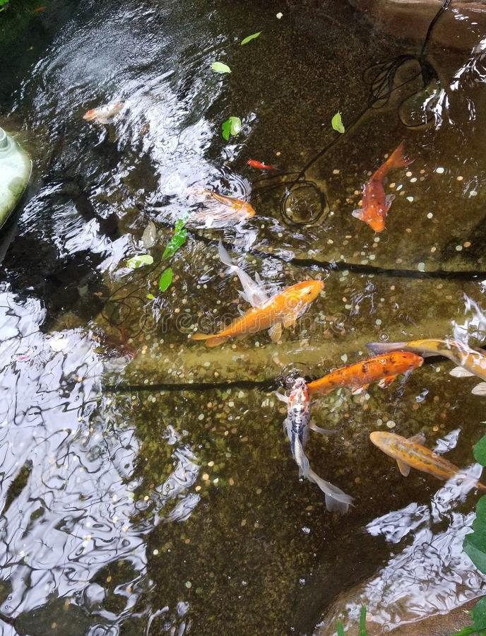 Coy fish in reflective pond stock photo