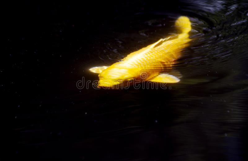 Coy Fish swimming in dark waters. Large yellow Coy Fish swimming in dark waters stock photo