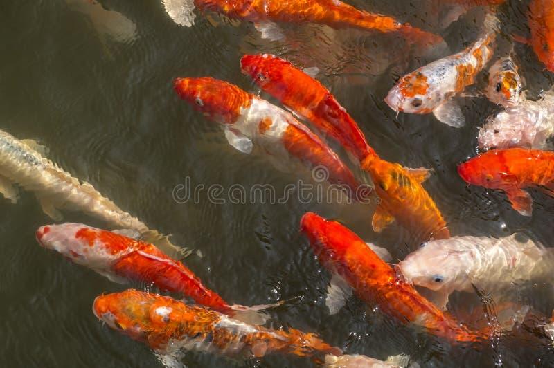 Coy Fish Swimming variopinto in uno stagno fotografie stock libere da diritti