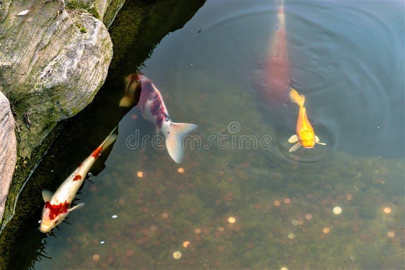 Coy Fish und Münzen im Teich stockfotos