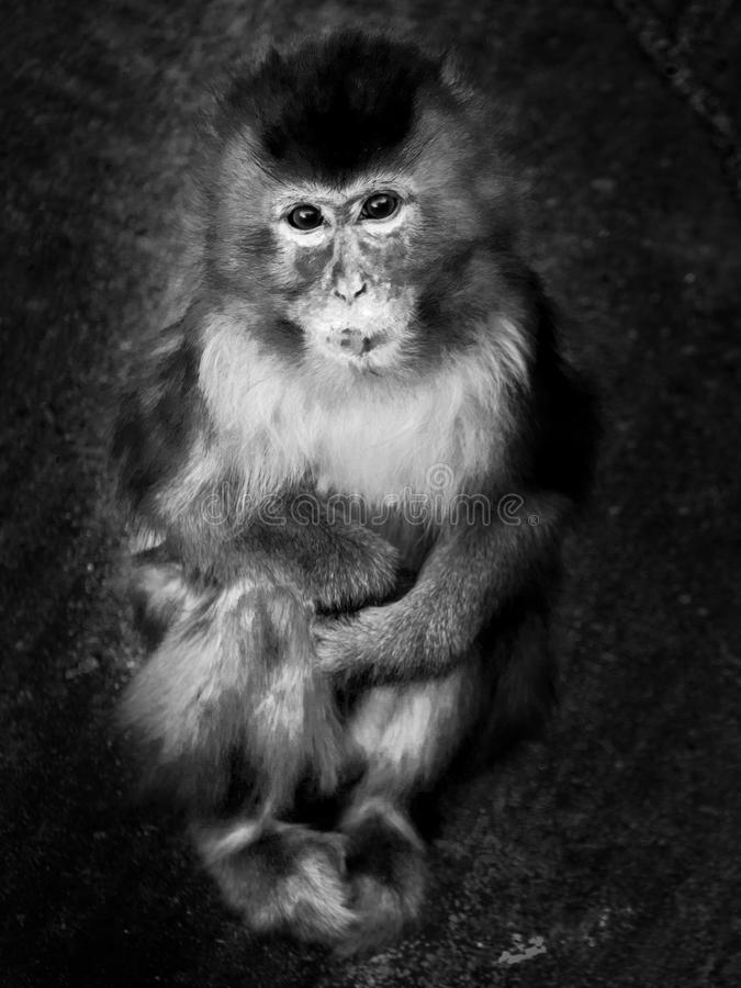 Coy. The monkey is the animal family of mammals stock image