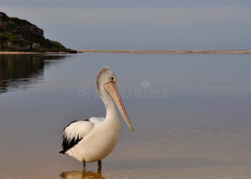 Coy Pelican in Western Australia. Pelican posing and standing in the Moore River with a background view of the sandbar at the river mouth to the Indian Ocean royalty free stock photography