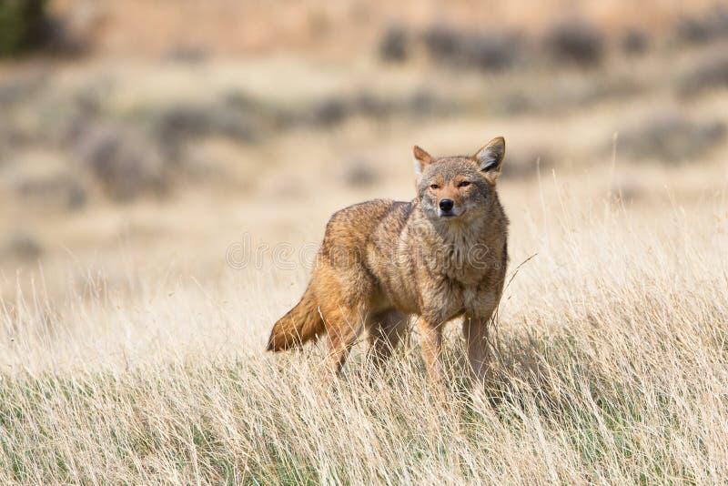 Coyote à la recherche de nourriture photos stock