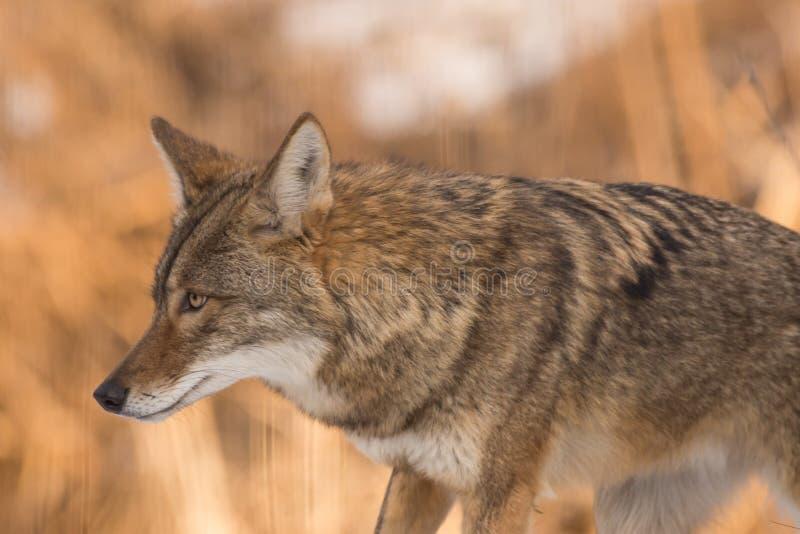 coyote photos stock