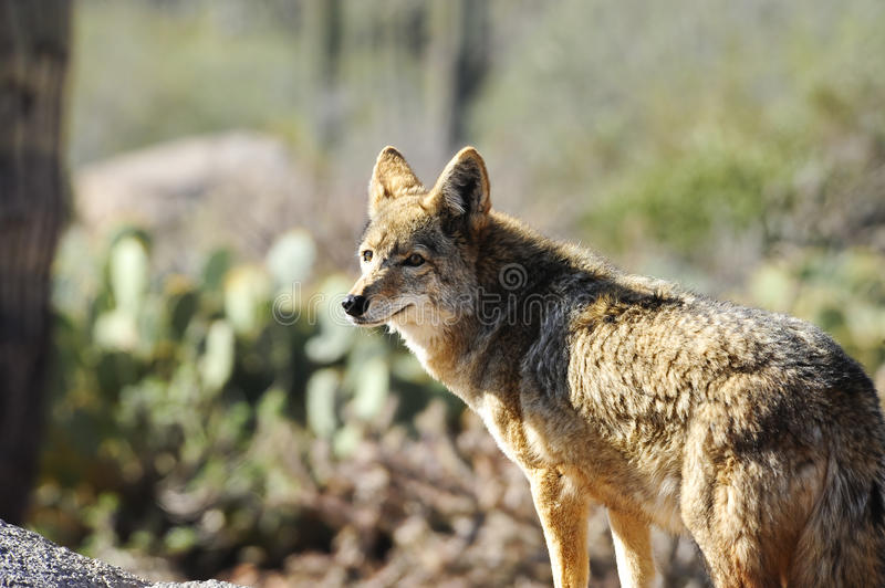 Download Coyote stock photo. Image of canis, portrait, scavenger - 13161404