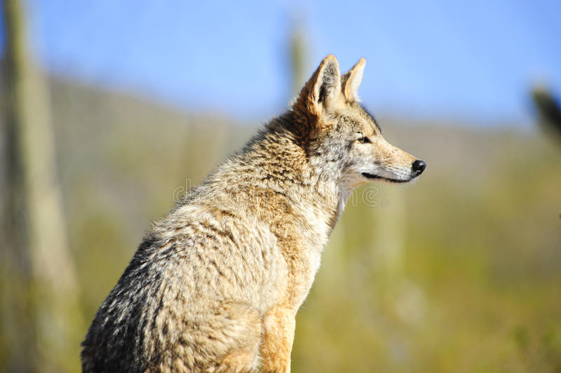 Download Coyote stock image. Image of thinking, canis, coyote - 13306535