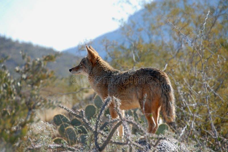 Coyote royalty-vrije stock fotografie