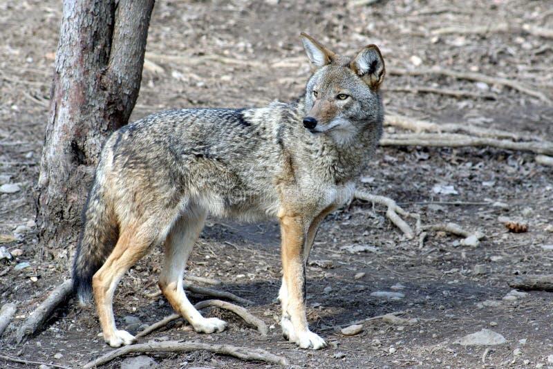 Coyote -2 image stock
