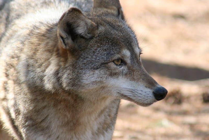 Coyote-3 fotografía de archivo libre de regalías