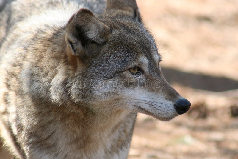Coyote-3 fotografia de stock royalty free