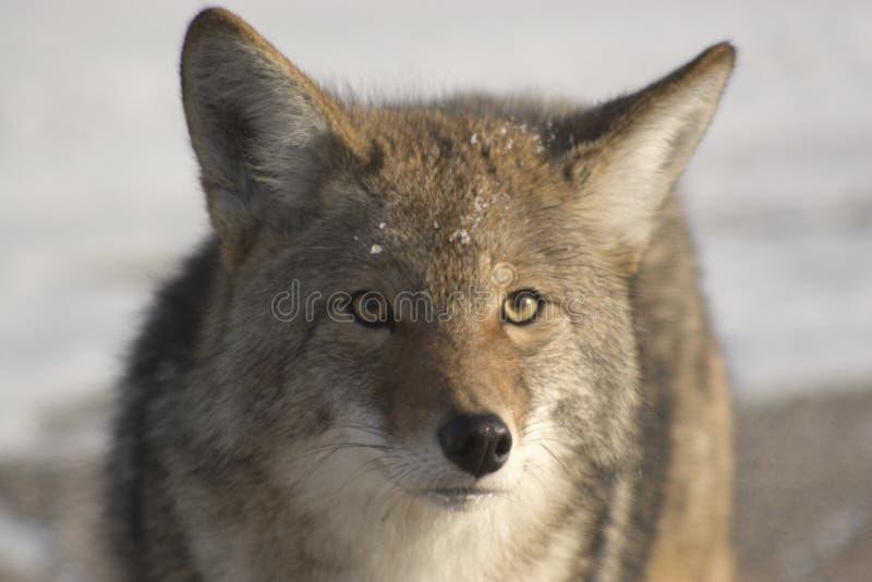 Coyote. royalty-vrije stock afbeelding