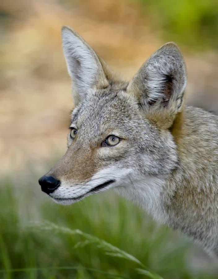 Coyote royalty-vrije stock foto's