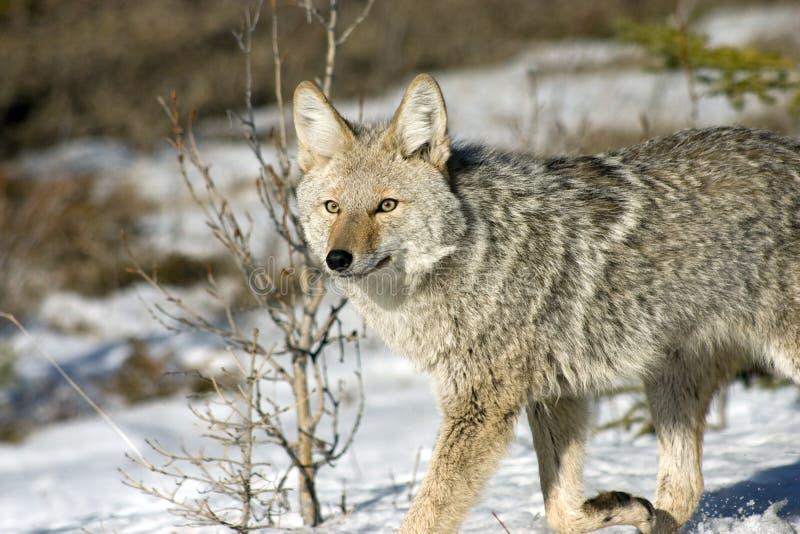 Coyote. foto de archivo libre de regalías
