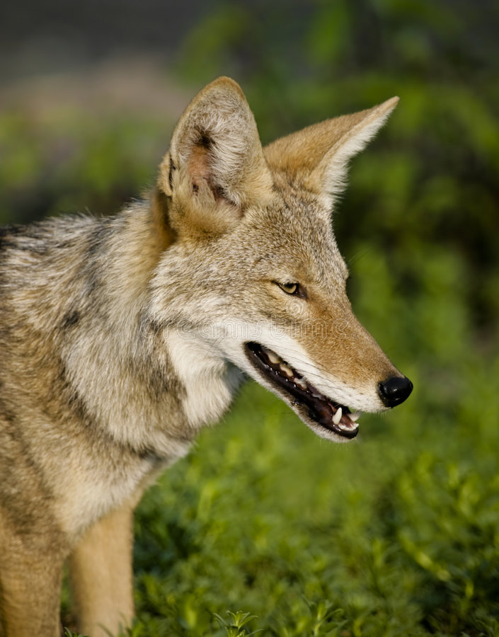 Download Coyote stock image. Image of hunting, nature, animal, wildlife - 4872527