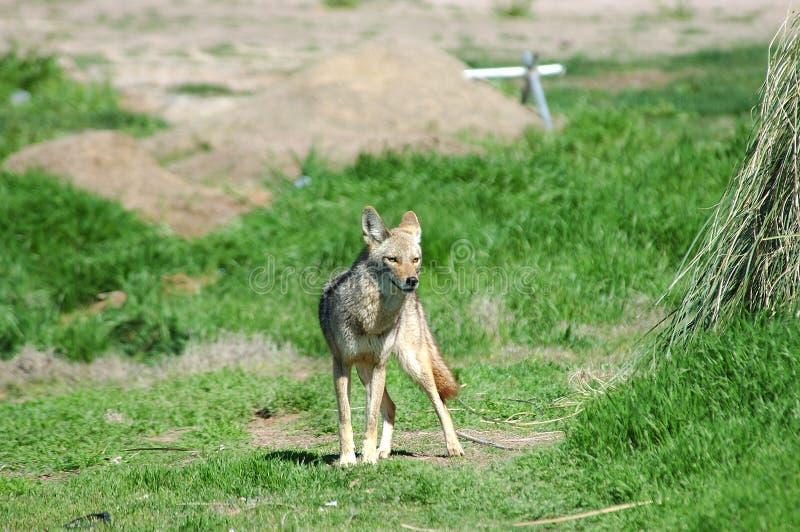 Coyote 5 Pustyni Zdjęcie Stock