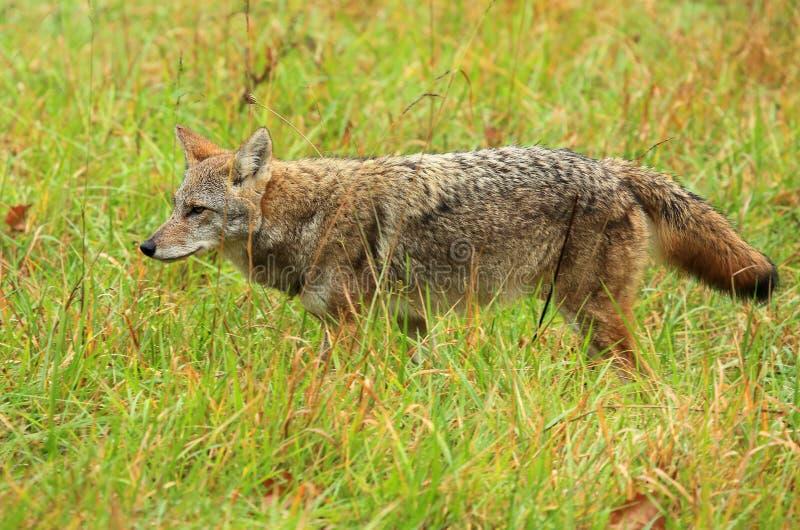 coyote image stock