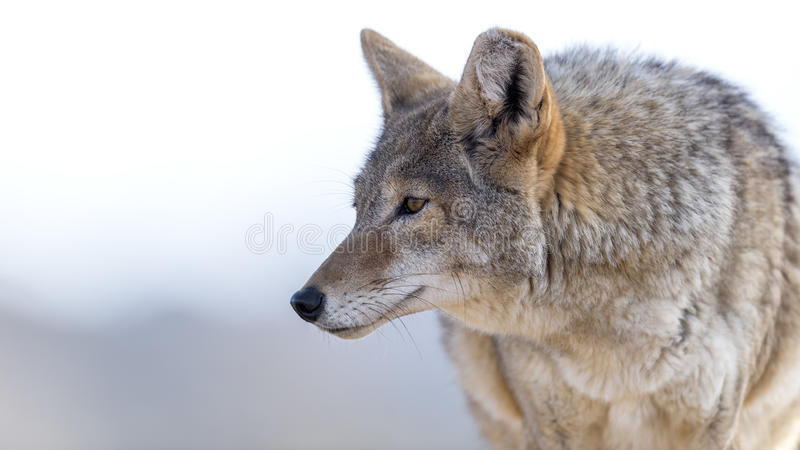 coyote image libre de droits