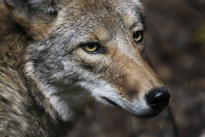 Coyote foto de archivo