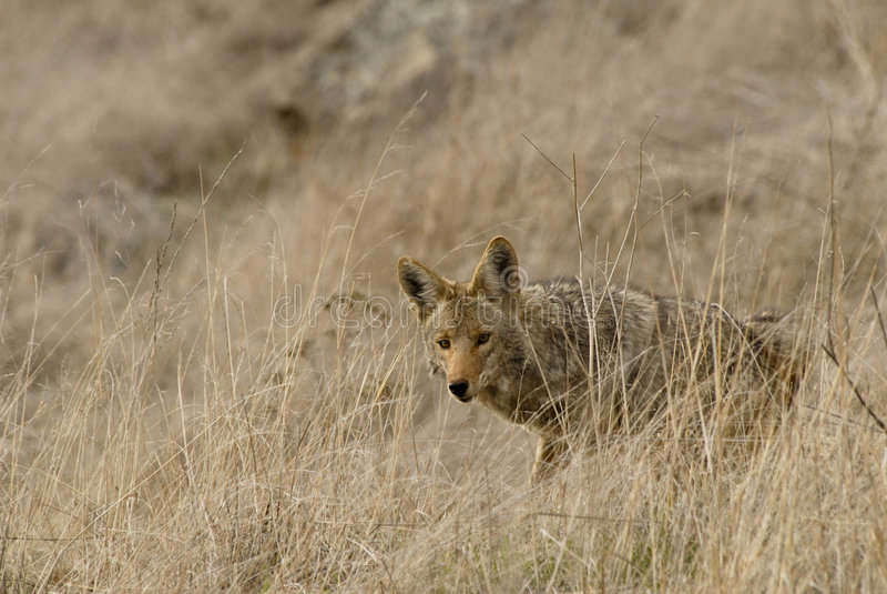 Coyote stock afbeeldingen