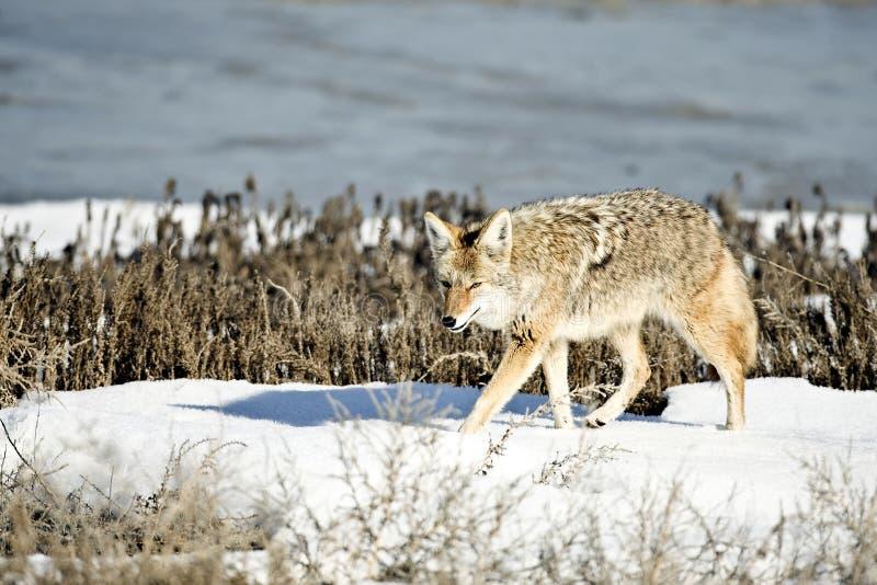 Coyote royalty-vrije stock afbeelding
