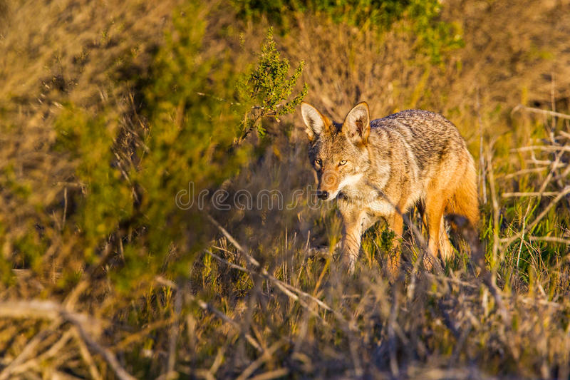 Coyote adulte photographie stock libre de droits