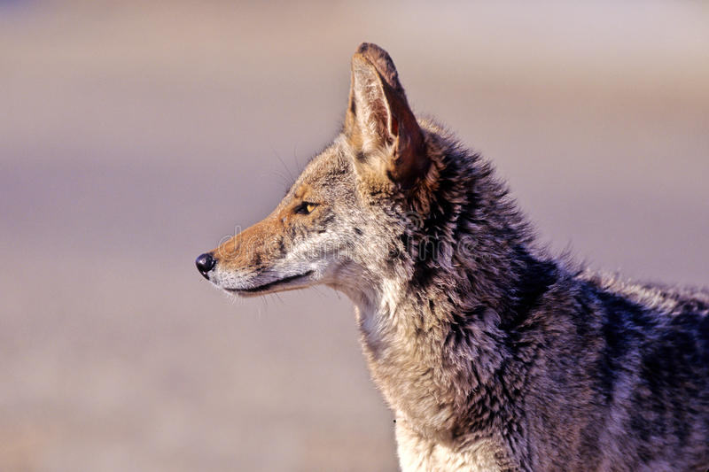 Download Coyote, Canis Latrans Stock Photo - Image: 25993370