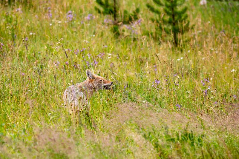 Coyote Canis Latrans eating a rodent in yellowstone park stock images
