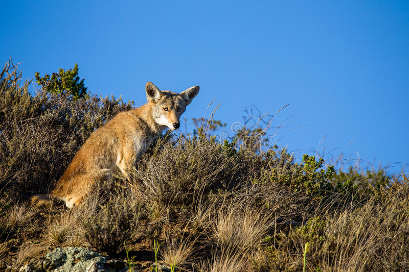 Coyote (Canis latrans). In the Golden Gate National Recreation Area north of San Francisco, California, USA royalty free stock image
