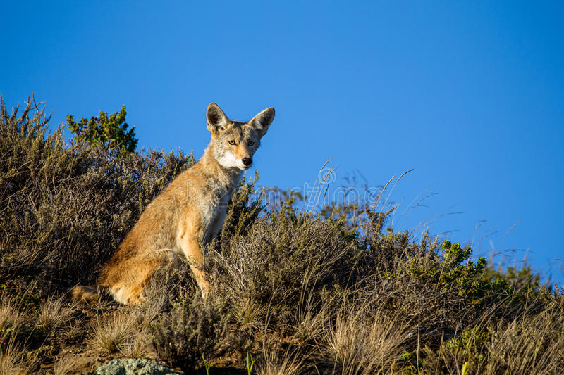 Coyote Canis latrans. In the Golden Gate National Recreation Area north of San Francisco, California, USA royalty free stock photography