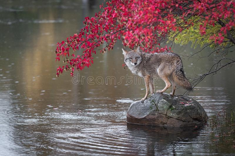 Coyote Canis latrans Looks Back From Atop Rock Autumn stock photography