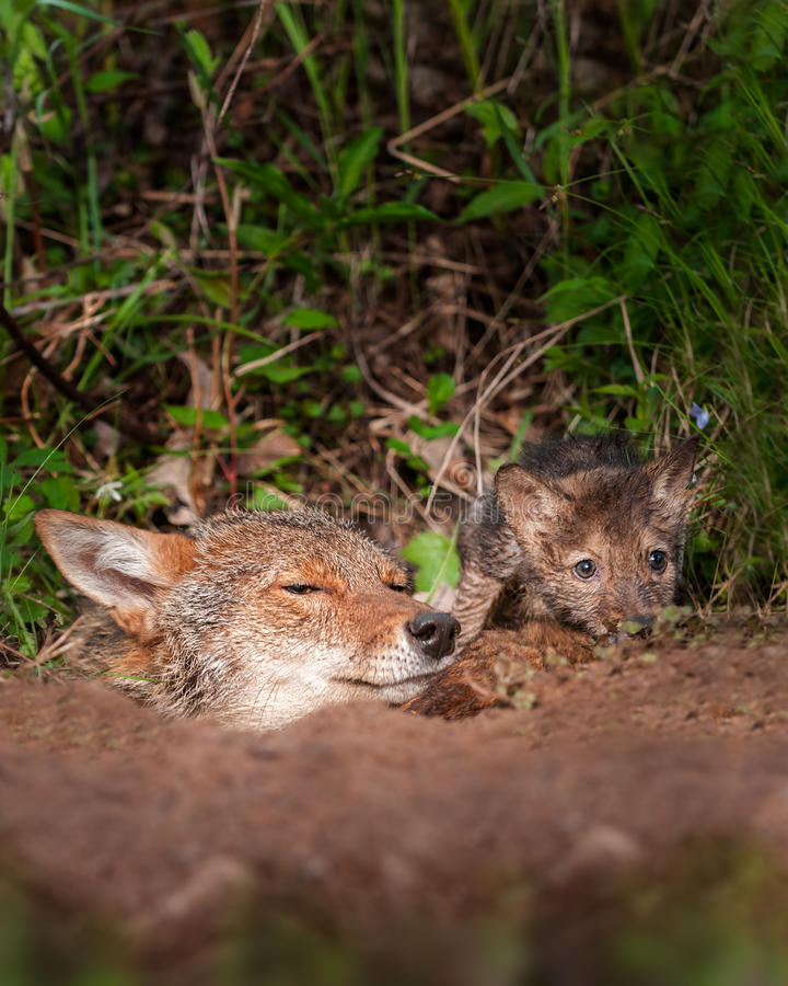 Coyote (Canis latrans) and Pup Peek out of Den. Captive animals stock photos