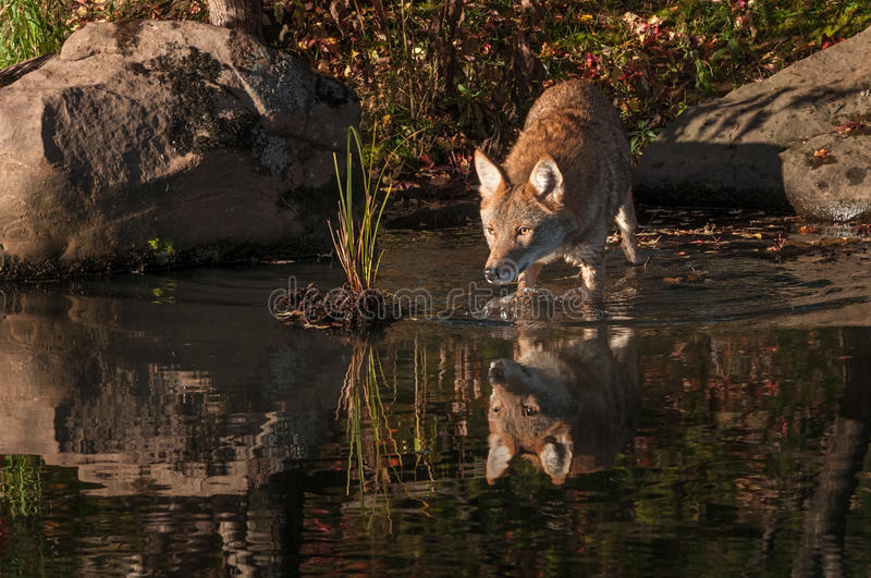 Coyote Canis latrans Reflected Walks Into Water stock photography