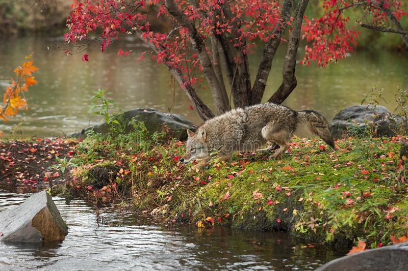 Coyote Canis latrans Runs About on Island royalty free stock image
