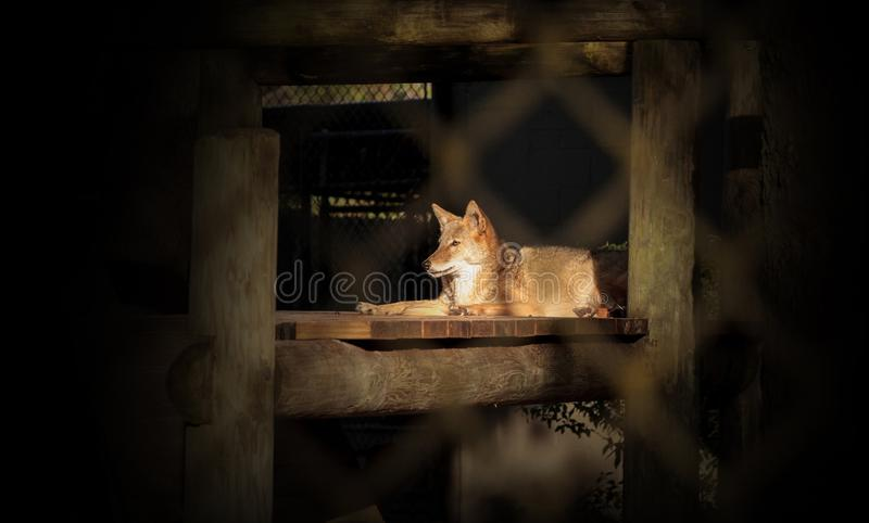 Coyote Canis latrans sits in a wooden shelter royalty free stock photos