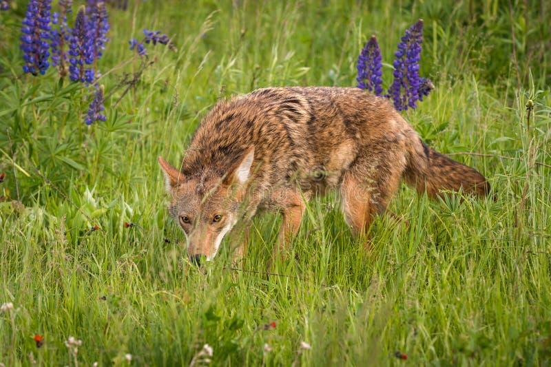 Coyote Canis latrans Stalks Forward Through Grasses. Captive animal stock photo