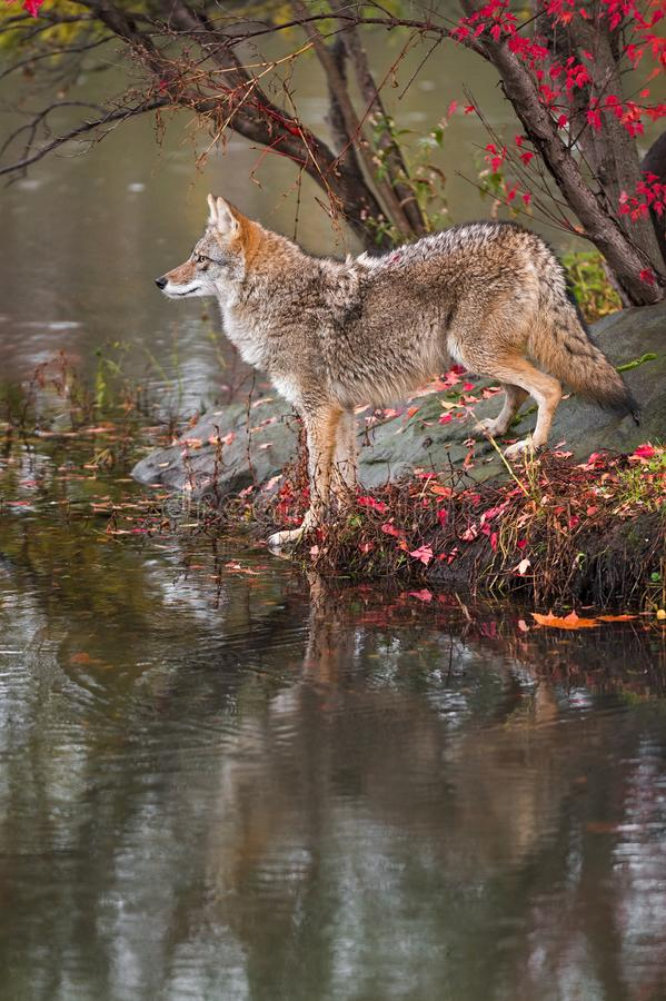 Coyote Canis latrans Stands at Edge of Water Profile Autumn royalty free stock photos