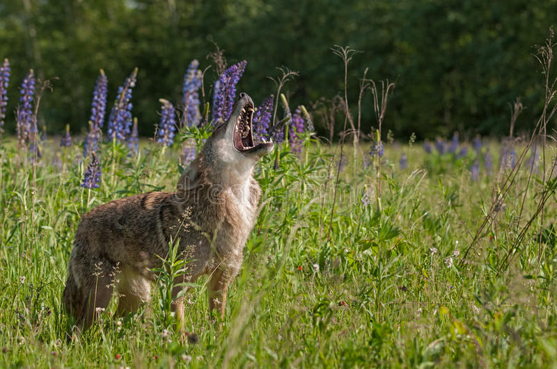 Coyote Canis latrans Stands Howling in Lupin Patch. Captive animal royalty free stock image