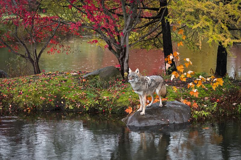 Coyote Canis latrans Stands on Rock Island Autumn. Captive animal royalty free stock photography