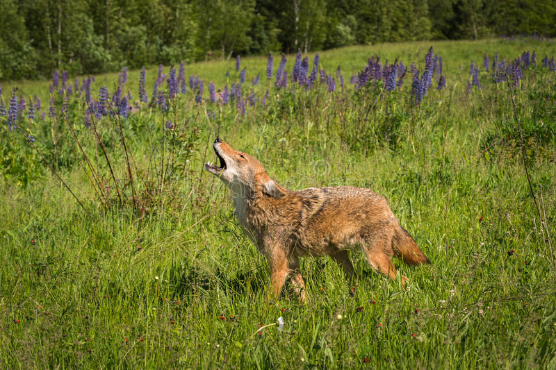 Coyote Canis latrans Walks Left While Howling. Captive animal stock photos