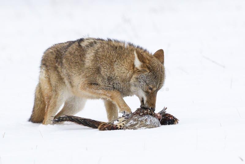 Coyote che mangia fagiano immagine stock