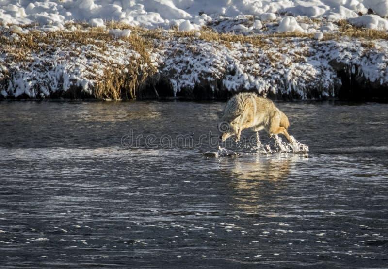 Coyote che piomba su un pesce nel fiume fotografie stock libere da diritti
