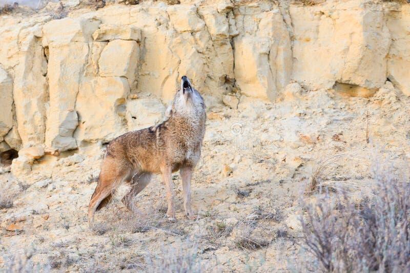 Coyote che urla fotografia stock libera da diritti