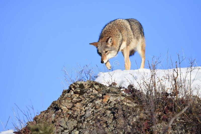 Coyote che vaga in cerca di preda sopra la cresta della montagna fotografia stock