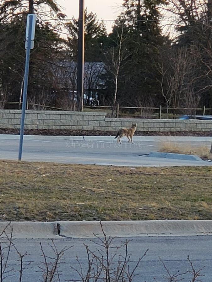 Coyote in Chicago in een koude dag stock foto's