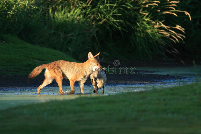 Coyote con la presa fotografía de archivo libre de regalías