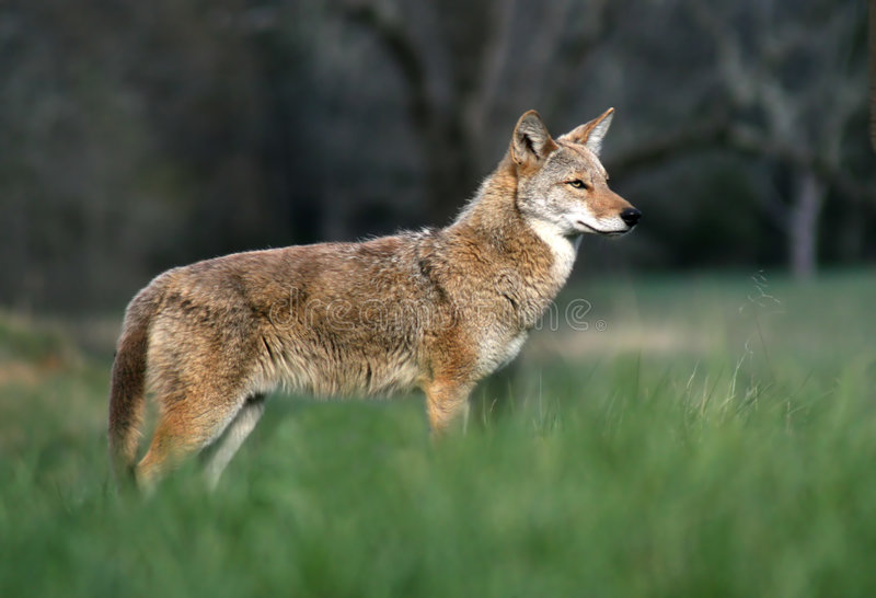 Download Coyote in the Cove stock image. Image of great, park, tennessee - 2319637