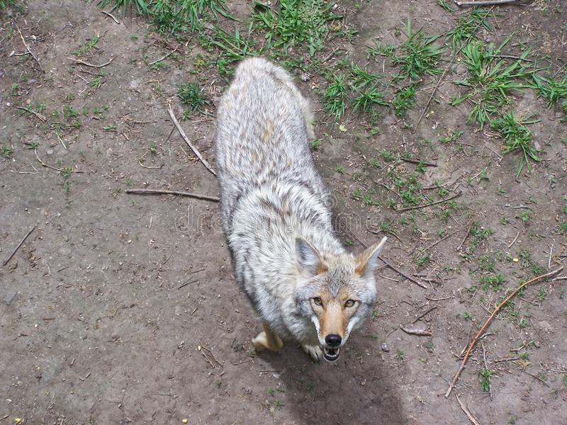 Coyote d'un support d'arbre image stock